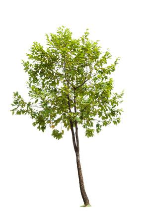 tree isolated on white
