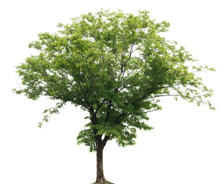 Tree isolated on white background photo