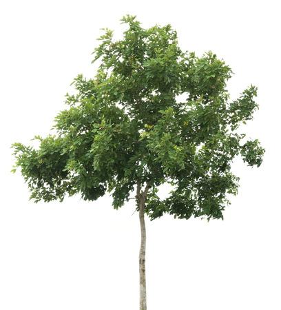 Baum auf wei?em Hintergrund Standard-Bild - 31440377