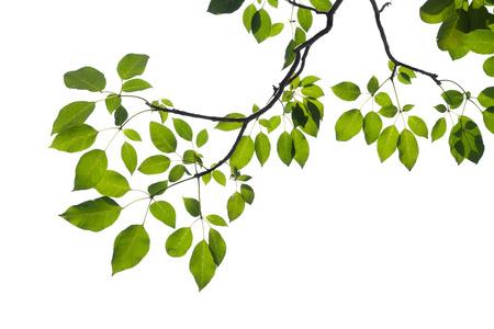 hojas de arbol: aislado rama de árbol verde