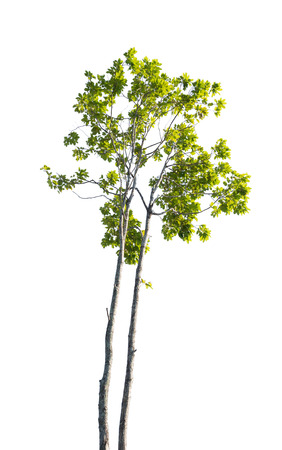 siamensis: isolated tree Stock Photo