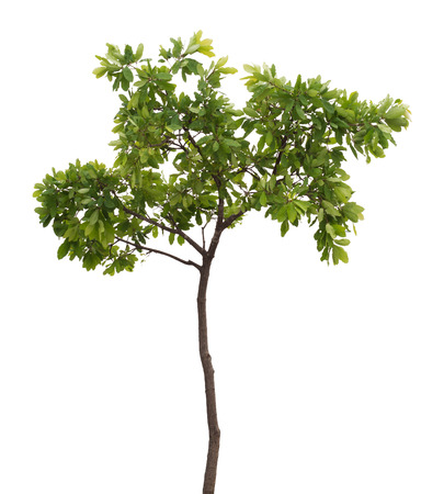 single tree: isolated tree Stock Photo