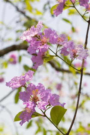 annonaceae: pink  blossom flowers Stock Photo