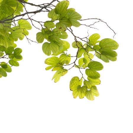 tree branch isolated Archivio Fotografico