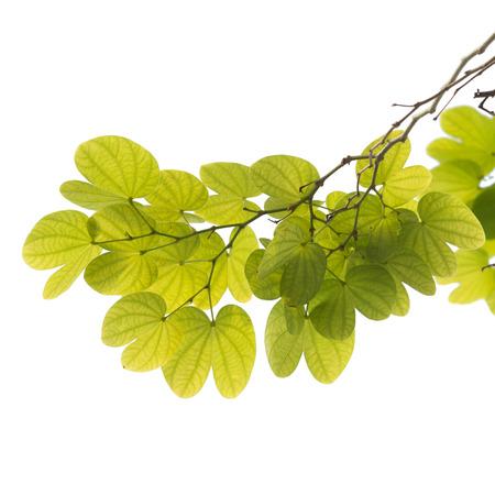 tree branch isolated 版權商用圖片