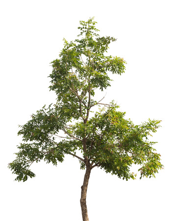 big leafs: isolated tree Stock Photo