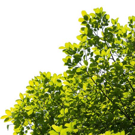zelená větev stromu izolované