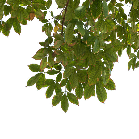 siamensis: isolated tree branch Stock Photo