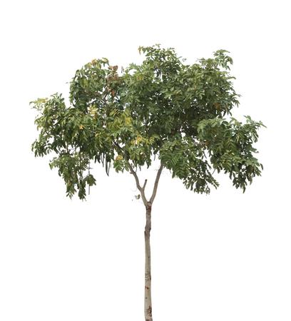 siamensis: isolated tree Stock Photo