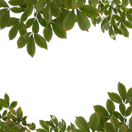 siamensis: tree branch isolated Stock Photo