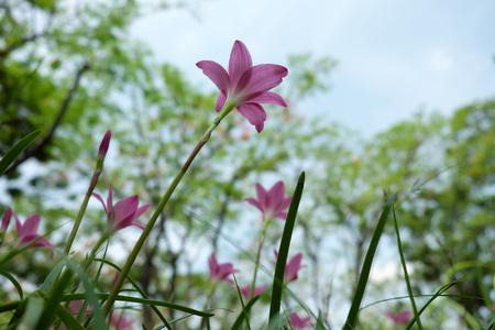 Pink flower Zephyranthes grandiflora