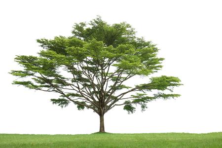 Tree isolated. White, background