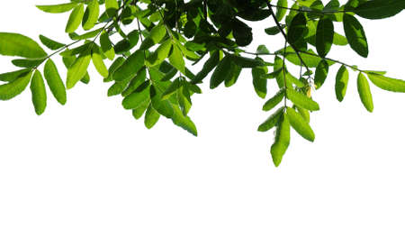 Green tree branch isolated on white background
