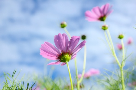 cosmos flowers in sunset  photo