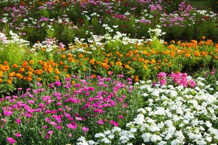 jardines flores: flores de colores, Zinnia elegans Foto de archivo