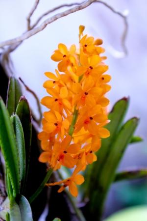 Ascocentrum miniatum, orchid