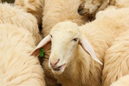 Livestock farm, herd of sheep photo