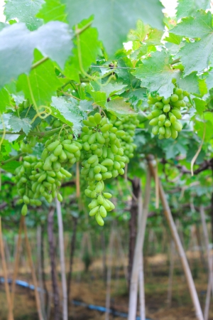 Grape harvesting in a vineyard in Thailand