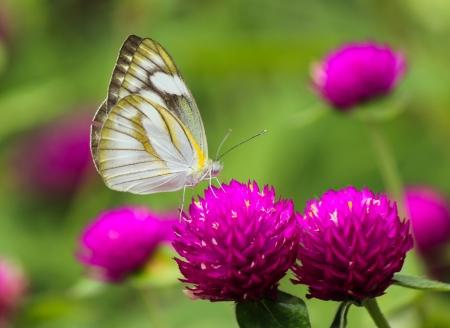 globosa: Monarch Butterfly on a Globe amaranth or Gomphrena globosa