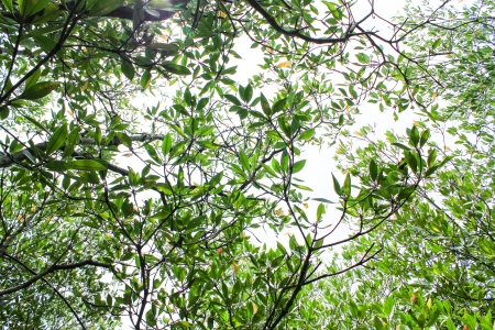 Mangrove Stock Photo - 22496553