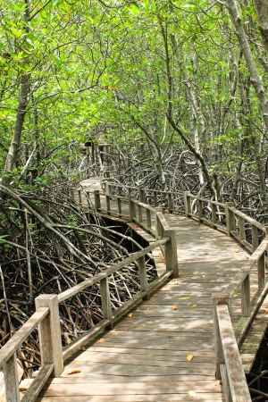 The forest mangrove at Petchaburi, Thailand Stock Photo - 22496556