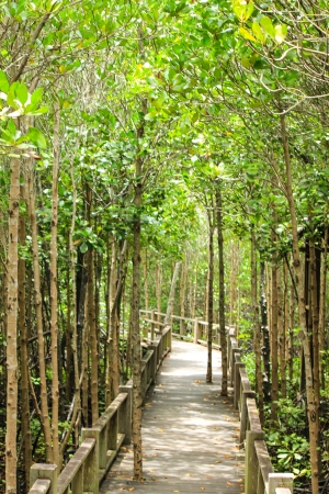 stand of mangrove trees Stock Photo - 22496575
