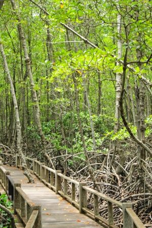 rosy cheeked: mangrove in mangrove forest Stock Photo