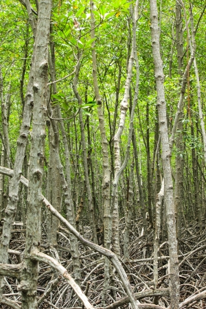 stand of mangrove trees Stock Photo - 22496573