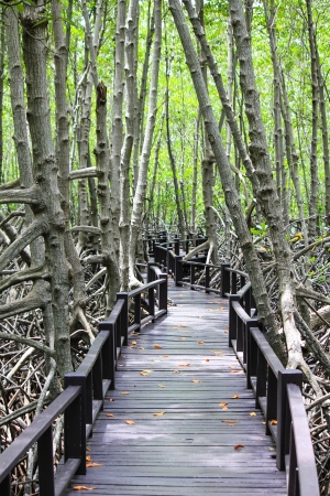 mangrove forest: the way in the mangrove forest