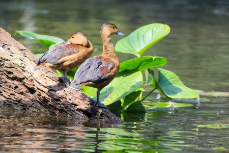 waterbird: Group of the duck standing on the dead tree in the pool Stock Photo