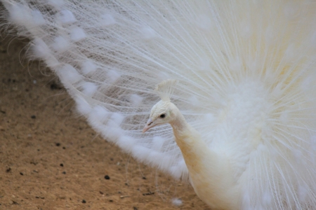 Close up of white peacock showing its beautiful feathers photo