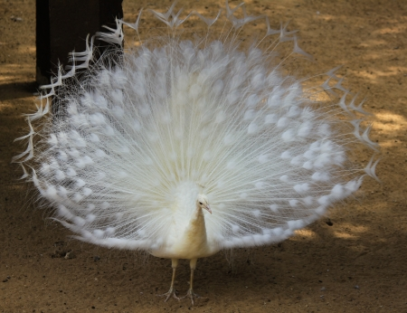 Close up of white peacock showing its white feathers photo