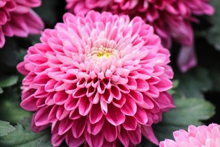 Schöne rosa Chrysantheme Blume close-up