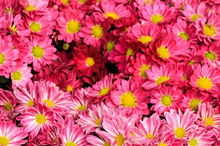pink gerberas flowers photo