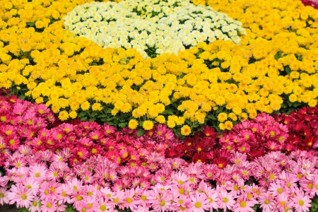 Colorful daisy and chrysanthemum flower photo
