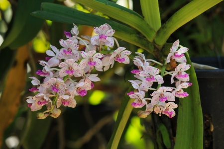 Rhynchostylis gigantea Thai orchid with fragrance blooming in wintertime photo