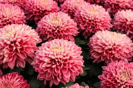 Pink chrysanthemum flowers vibrant  photo