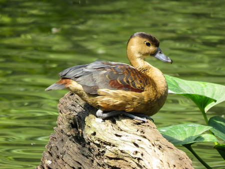 palmate: Close up of a duck
