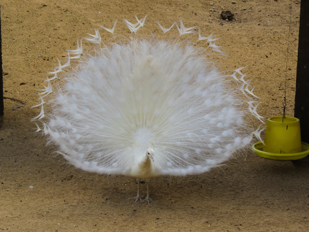 exotism:  White peacock with feathers out
