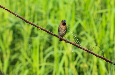 fulvous: Bird sits on the branch