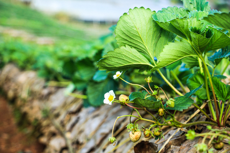 commercially: Strawberries being grown commercially on table top irrigation Stock Photo
