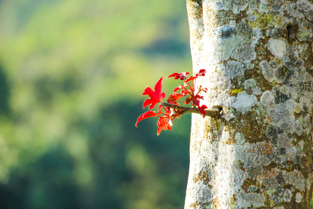 budding: Red maple leaves budding on the tree Stock Photo