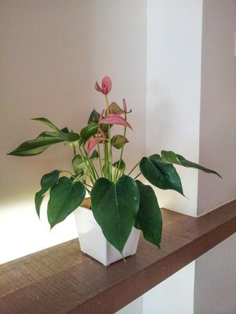 anthurium: Red anthurium flowers