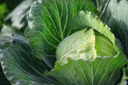 graden: cabbage in the graden
