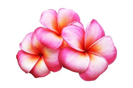 hawaiian flower: frangipani flowers isolated on the background white