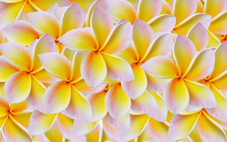 frangipani Background photo