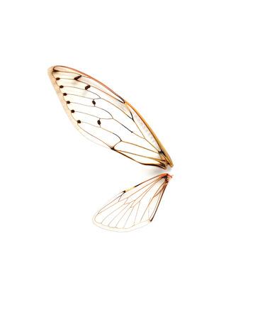 cicada bug: Insect cicada