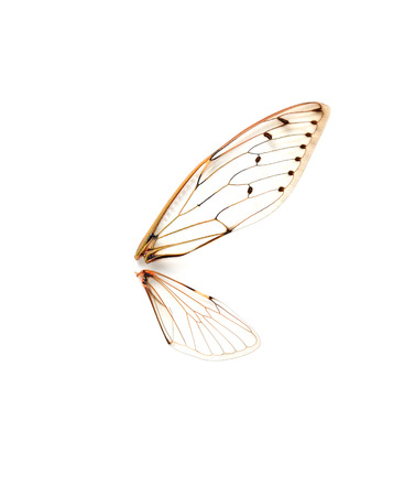 cicada bug: Insect cicada isolated in white  Stock Photo