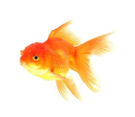 ichthyology: Goldfish Isolated on black Background Stock Photo