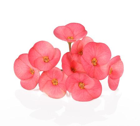 poi: Poi Sian flowers on white background. Stock Photo